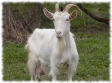 русская белая коза фото и описание породы
