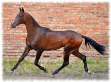 ахалтекинская лошадь (akhal-teke breed photo)