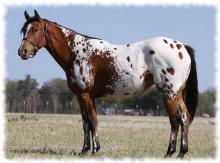 аппалуза порода лошадей фото и описание appaloosa