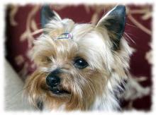 порода собак йоркширский терьер фото