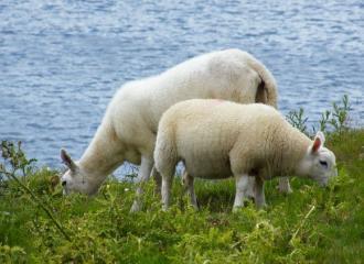 овцы - содержание овец и их породы. фото овец