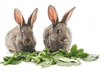 чем кроликов кормить и что давать кроликам из трав