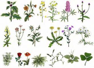лекарственные растения (травы) описание фото и применение