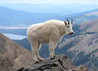 снежная коза фото - снежные козы описание