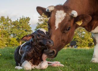 раздой коров после отела