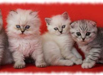 фото шотландских котят по видам