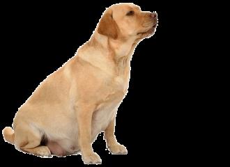 течка и овуляция у собак - половой цикл у сук