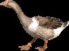 убой гусей в домашних условиях и обработка тушек гусей