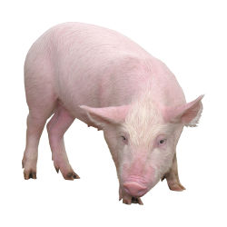 рубрика о свиноводстве